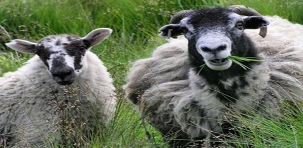 Apascentando ovelha ou entretendo bodes?